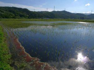 6月14日、たった1枚だけ作付けされた秋元さんの田圃(川内村)